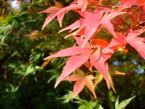 20081117umekoji_koyo2
