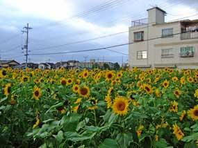 20081128himawari_2