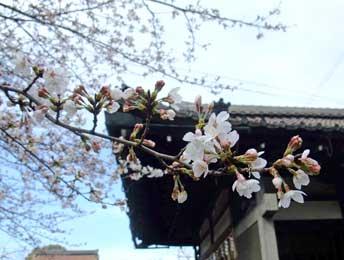 20090326rokuson_sakura_2