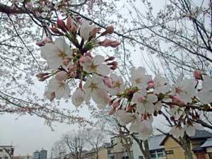 20090331sakura_saijip