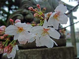 20100324sakura_rokuson2