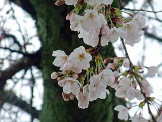 20100324sakura_toji