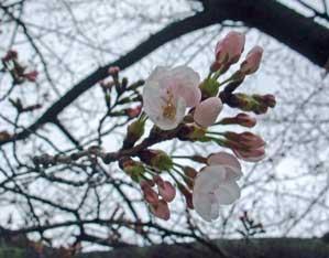 20100326sakura_biwap