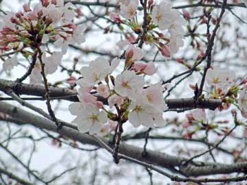 20100326sakura_saijip