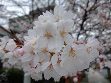 20100331sakura_rokus