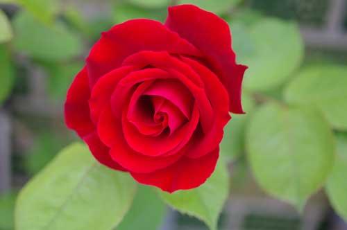 20120511rose