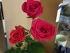 20121029rose2